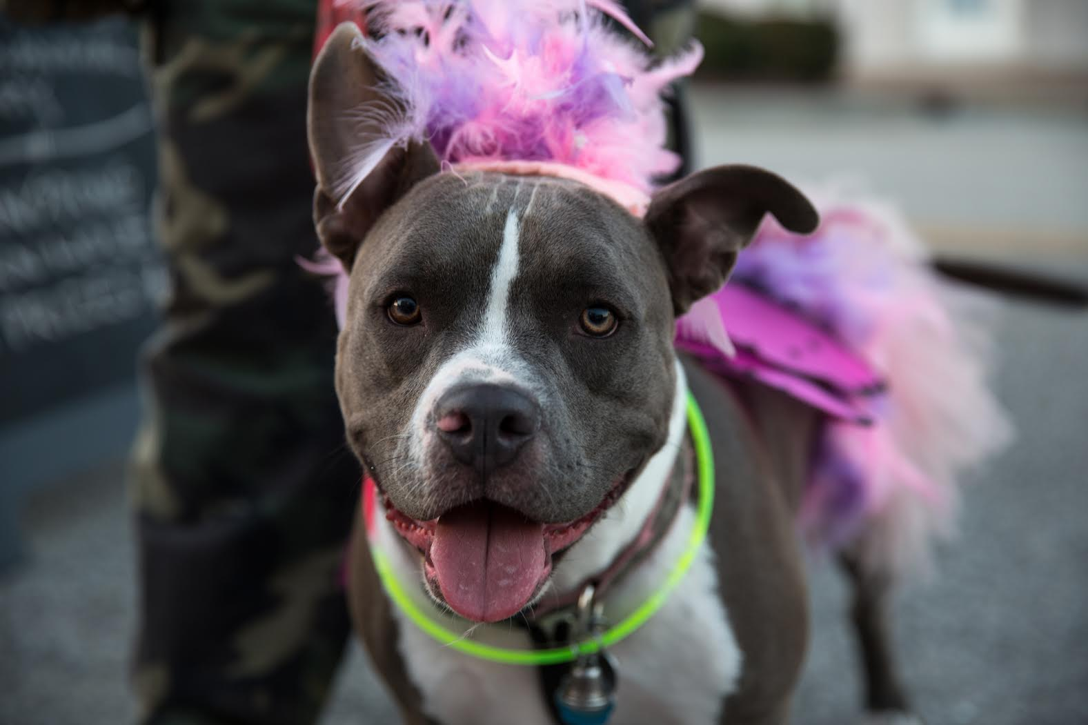 Pitbull in pink tutu fundraiser for dogs portland